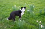 The obligatory border collie shot - this time of Ruby